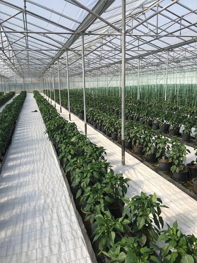 Φωτογραφία με υδροπονικές καλλιέργειες, συγκεκριμένα φαίνεται η χρήση της ελαφρόπετρας σε περιβάλλον θερμοκηπίου.